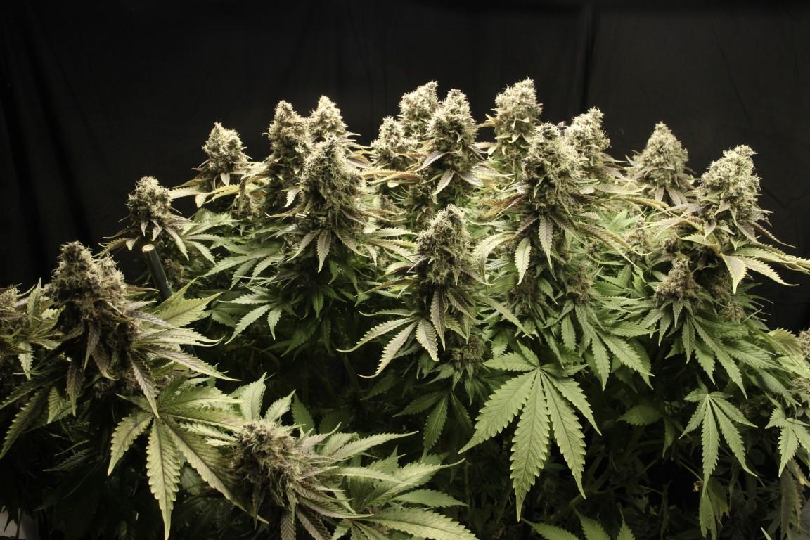 Cannabis-Samen kaufen