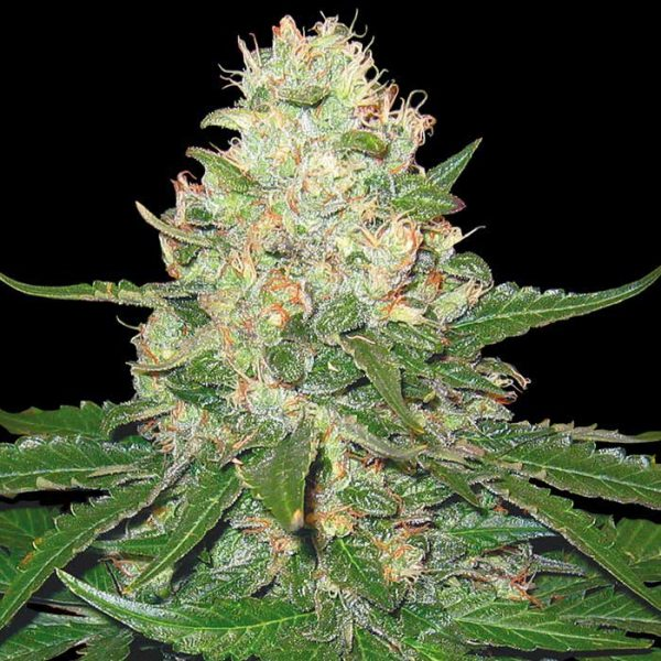 Rocklock von DNA Genetics, Grow Your Own