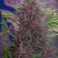 Purple Kush, Buddha Seeds