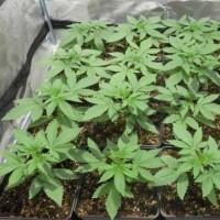 Wuchs Cannabis