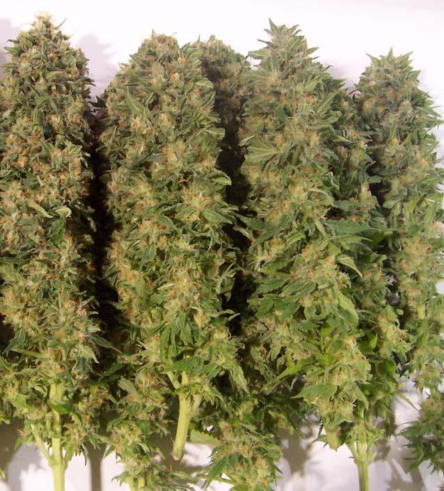 Pflanzen Trocknen cannabis trocknen 1000seeds