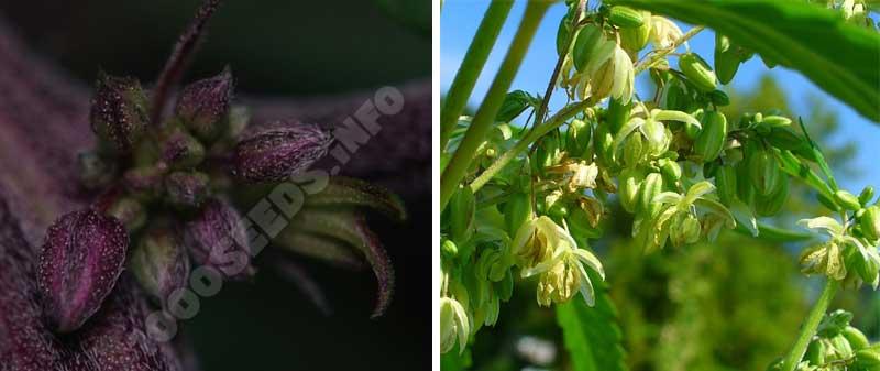 männliche Cannabispflanze, Geschlecht von Cannabispflanzen
