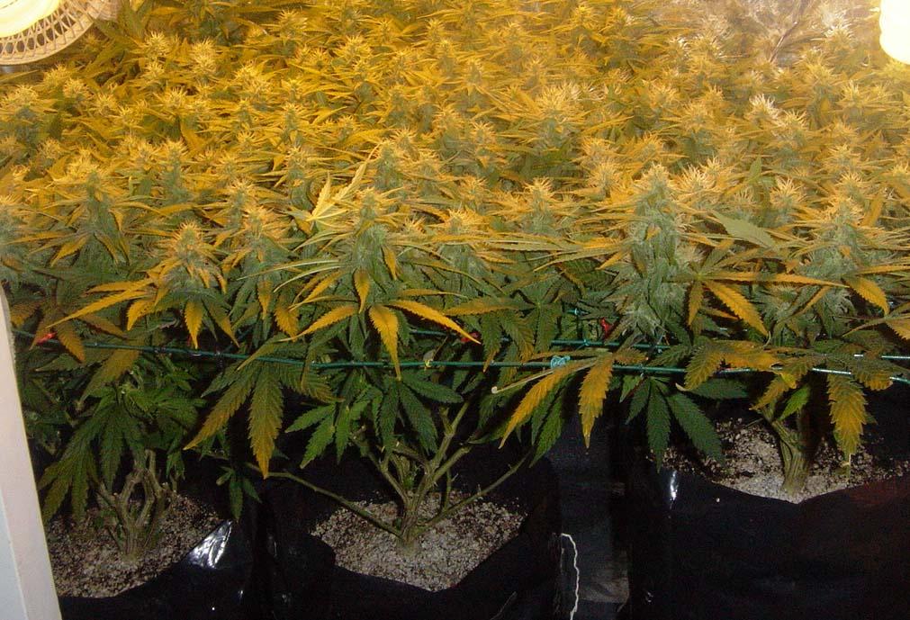 scrog, Cannabis-anbau-Grow, Anbau-Tipps