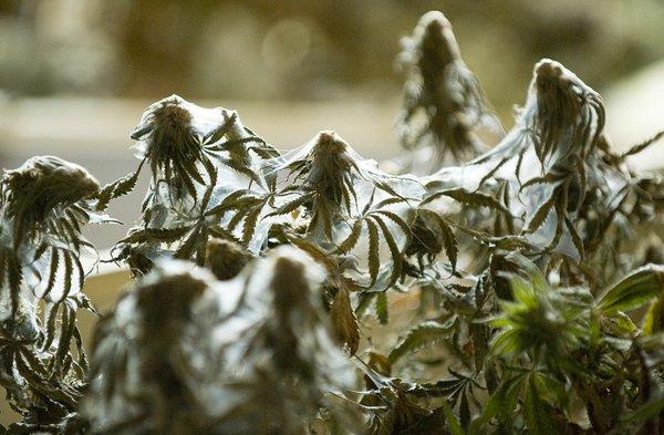 Spinnmilbenbefall Cannabis