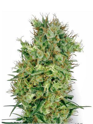 California-Orange-Bud