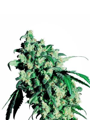 Super-skunk-Sensi-Seeds