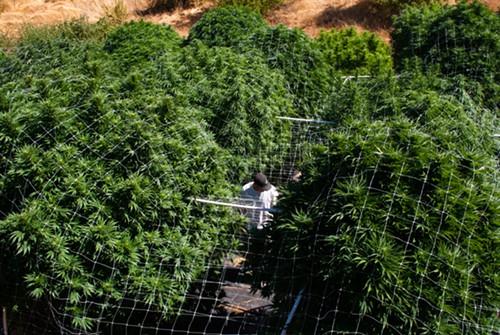 Pflanzenschutz Cannabis