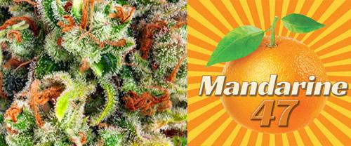 Mandarine 47 Anesia