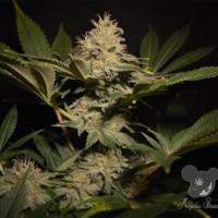 Strawberry Kush, Anesia Seeds