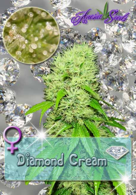 Diamond cream, Anesia Seeds