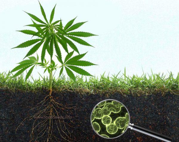 microorganismen-im-Boden-Cannabis