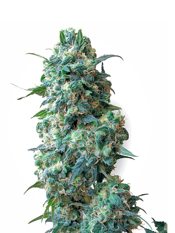 afghan kush white label 10 regular seeds 1000seeds. Black Bedroom Furniture Sets. Home Design Ideas