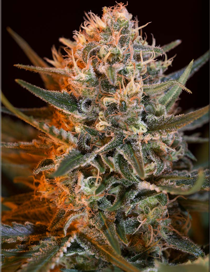 Black Jack FV, Sweet Seeds