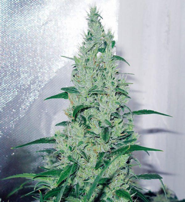 Y-Griega, medical Seeds, medizinische Cannabis-sorte Strainbericht