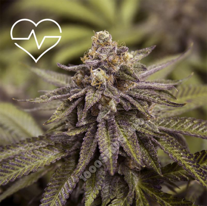 medizinische Cannabis-samen kaufen, medizinische Cannabis-Sorten und ihre Anwendung