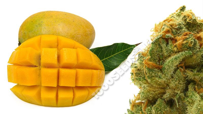 Mango und Cannabis, Cannabis-Blog 1000seeds