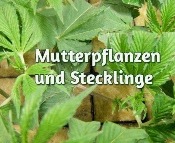 Mutterpflanzen anbauen, Stecklinge machen
