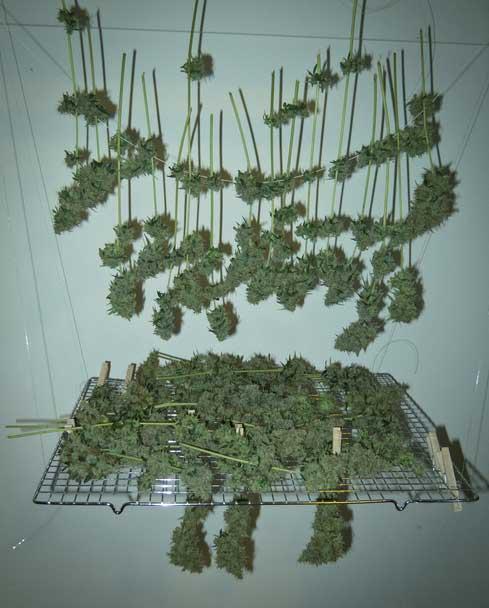 Cannabis Grow-Tipps