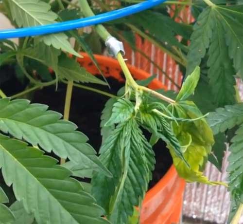 Pfropfen bei Cannabis