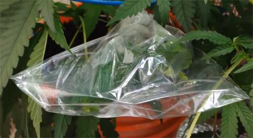 Cannabis veredeln