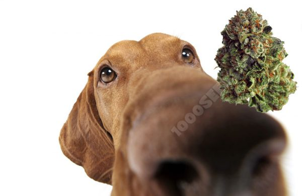 terpene-Cannabis, Terpene und Marijuana