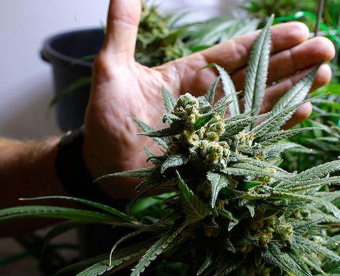 Cannabis und Licht