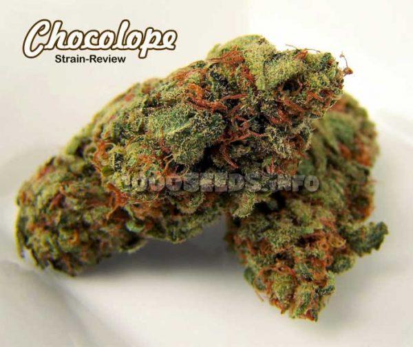 Chocolope Strainbericht, Bericht zur Chocolope, Cannabis-Sorten
