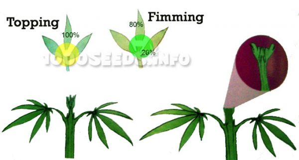 Fimming-Grow, GRow-Tipps, Cannabisanbau, FIM