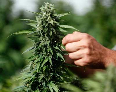 Neurodermitis-Cannabis