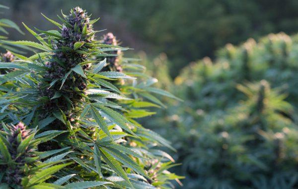 Outdoor-sorten, Outdoor Cannabis-Sorten kaufen bei 1000Seeds, Seedshop