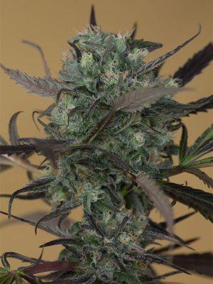 chemdawg-humboldt-seeds