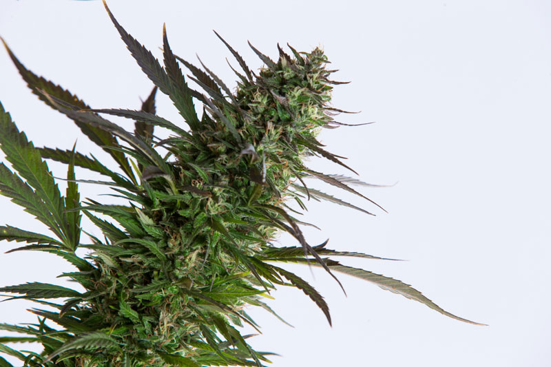 outdoor-Grow-beste-Sorten