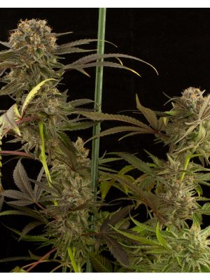 Blue-Kush-Dinafem-Seeds