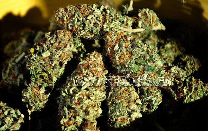Cannabis-trocknen, tutorial, Grow-guide, Cannabis lagern