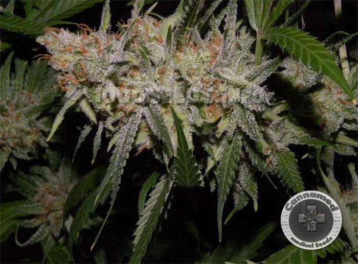 Cannamed-Sorten, medizinische Premium Cannabis-Samen, medical Seeds kaufen