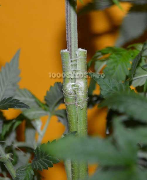 Pfropfen-Cannabis, mehrere Sorten an einer pflanze, Grow-Lexikon 1000Seeds