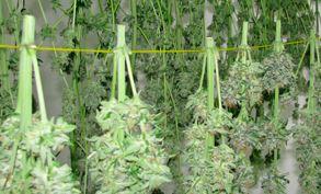 Weed trocknen