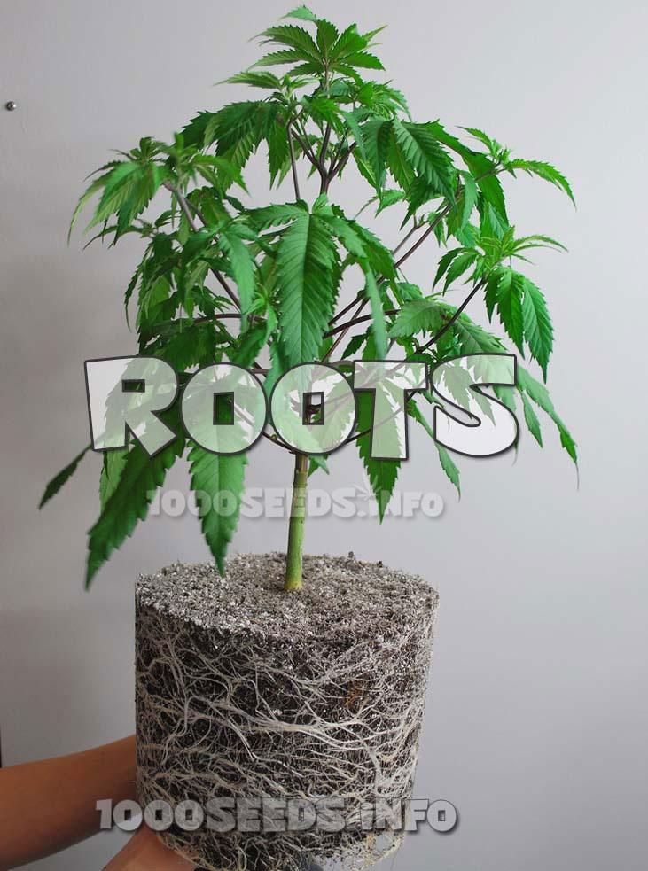 Cannabiswurzeln, Grow-Tipps, Grow-Anleitung