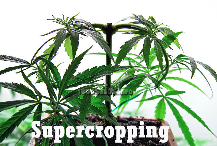 Supercropping, Cropping, Pflanzentrainingsmethoden, Grow-Tipps, Tutorial Supercropping