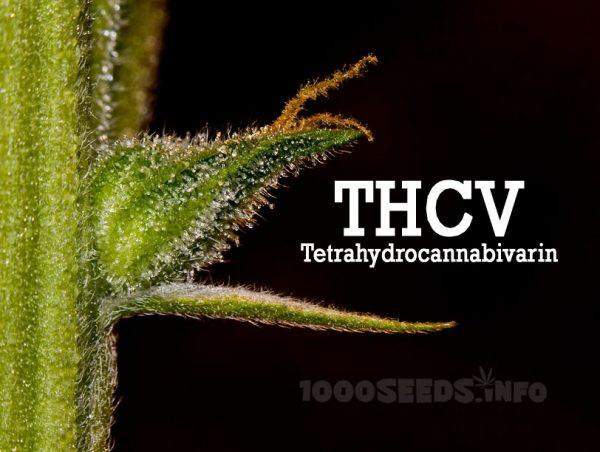 THCV, Tetrahydrocannabivarin, Cannabinoide und ihre Wirkung, medical MArijuana