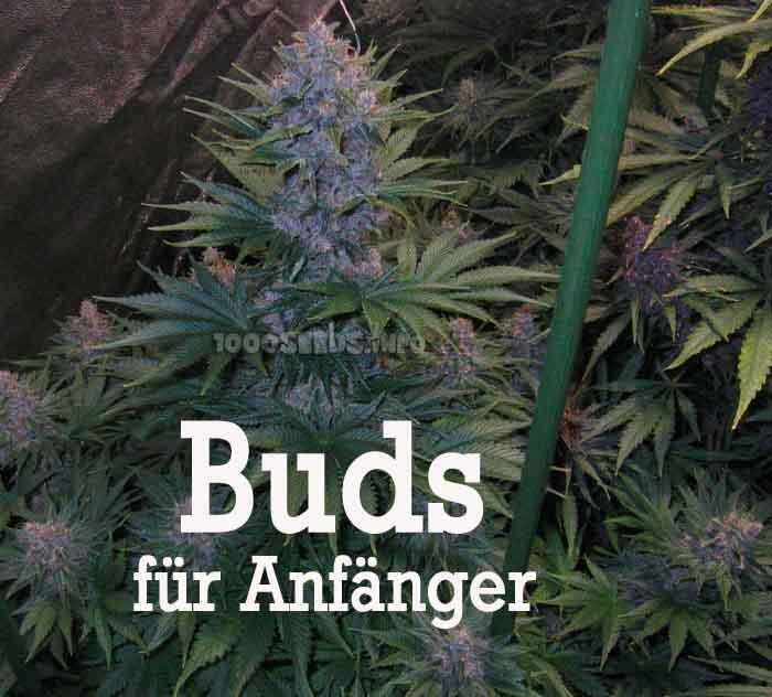 Cannabisanbau Beginner, wichtige Tipps zum Grow