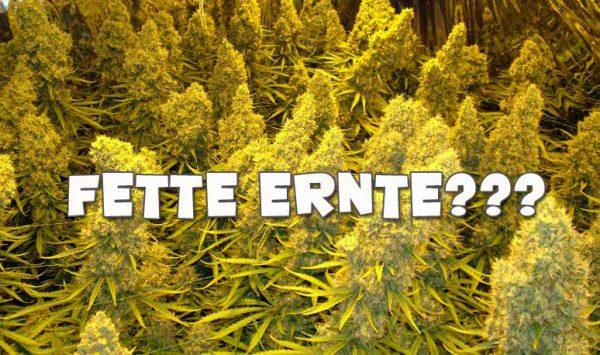 mehr Ertrag beim Cannabisanbau
