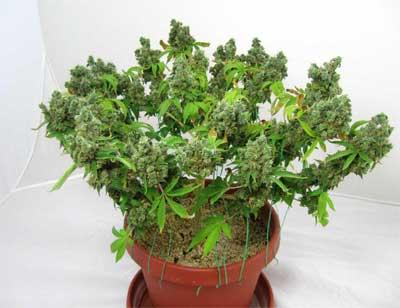 LST Cannabisanbau, Erträge steigern