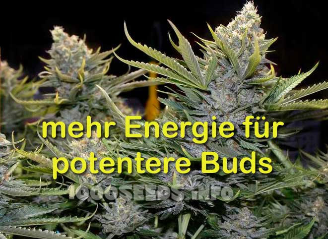 potentere-Buds, merh Ertrag bei Cannabis, Grow Guide 1000Seeds