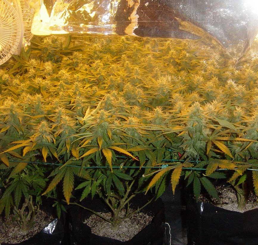 Scrog Cannabis-Anbau