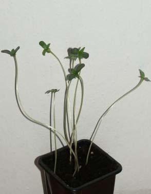 junge Pflanzen Lichtmangel
