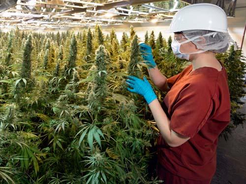 Cannabis für die medizinische Forschung