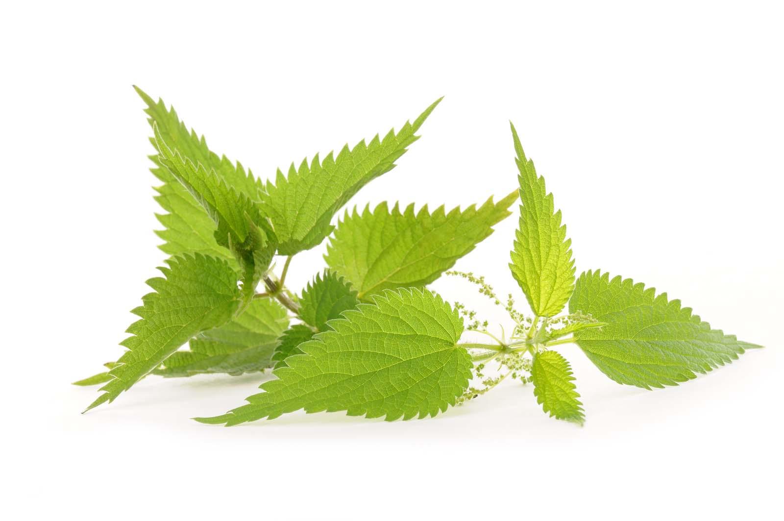 Brennesseljauche und Cannabis