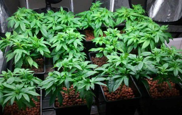 Grow-Cannabis, Wieviele Pflanzen im Grow-Room