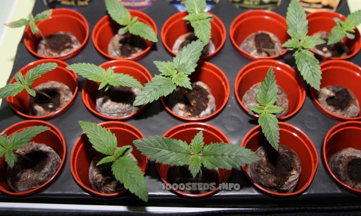 Keimlinge Cannabis